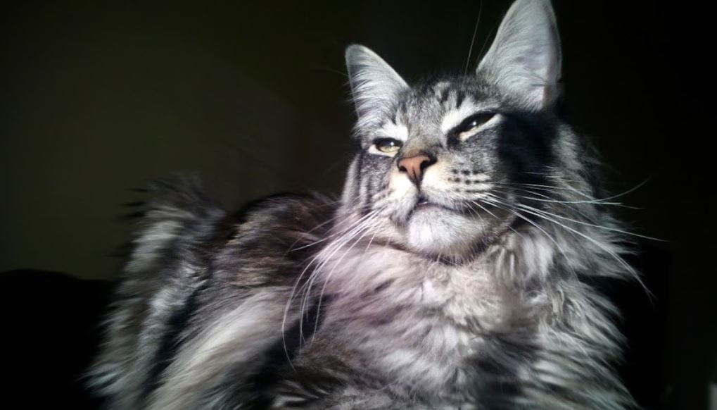 Cat breed like dog 6: Main Coon