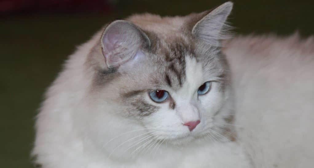 Cat breed like dog 1: Ragdoll