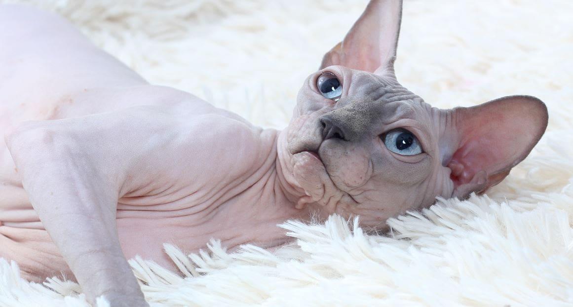 Cat breed like dog 10: Sphynx