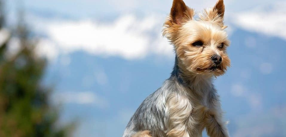 Toy breed: Terrier toy