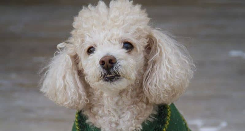 Toy breed: Toy Poodle
