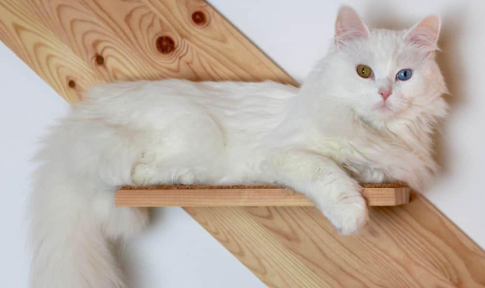 Cat breed like dog 4: Turkish Angora