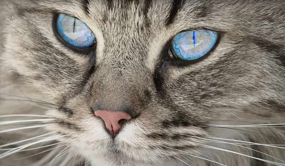 Blue eyed cat closed up