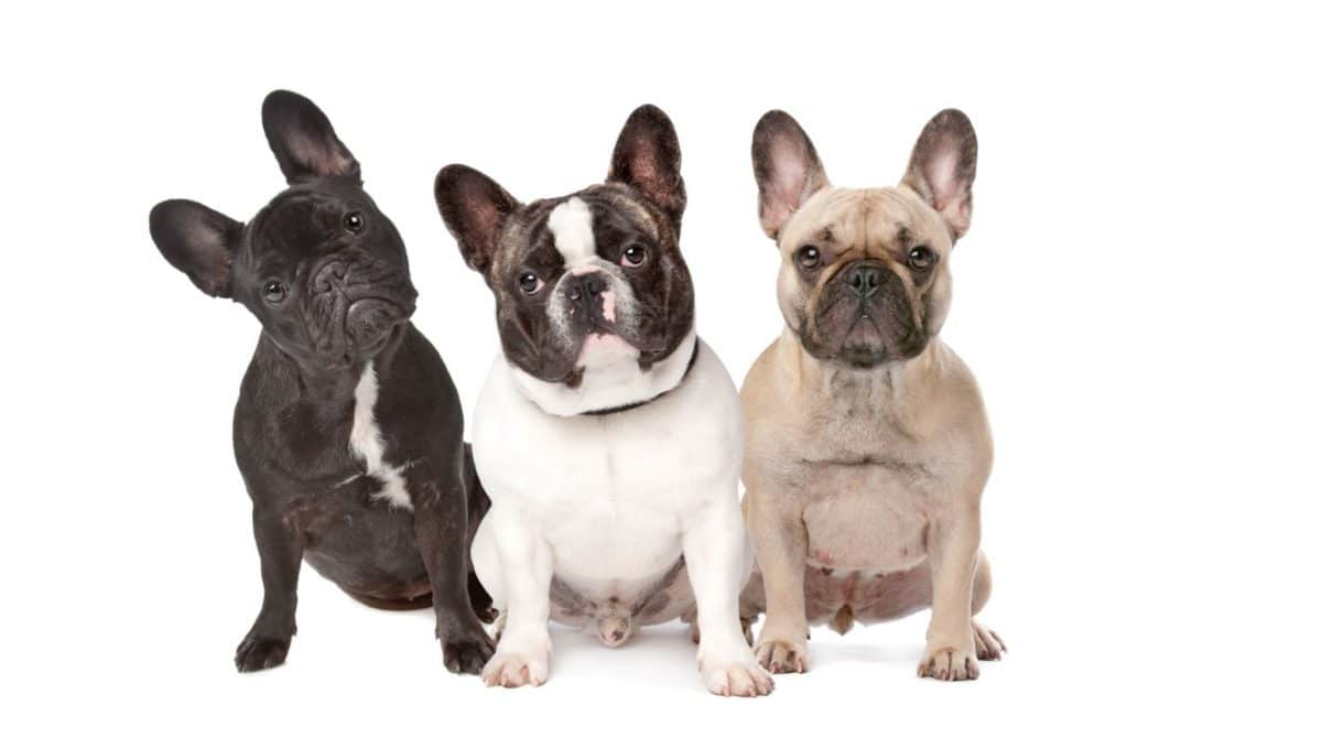 three french bulldogs together
