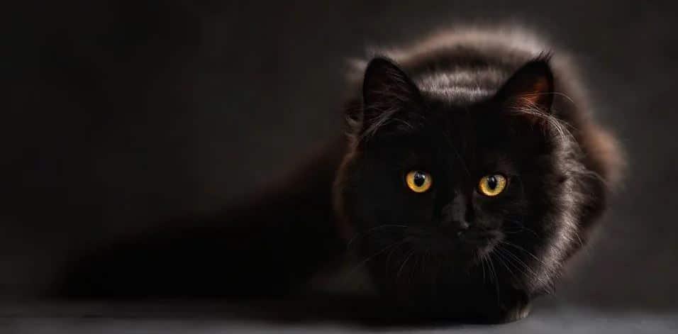 Cat black background