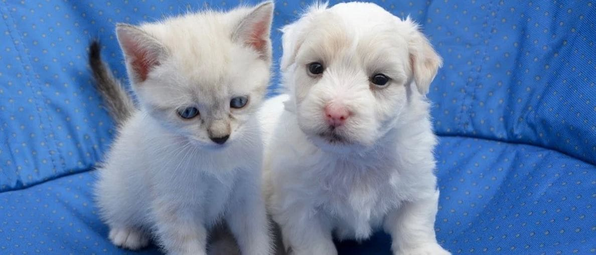 White puppy and kitty sit ext each other