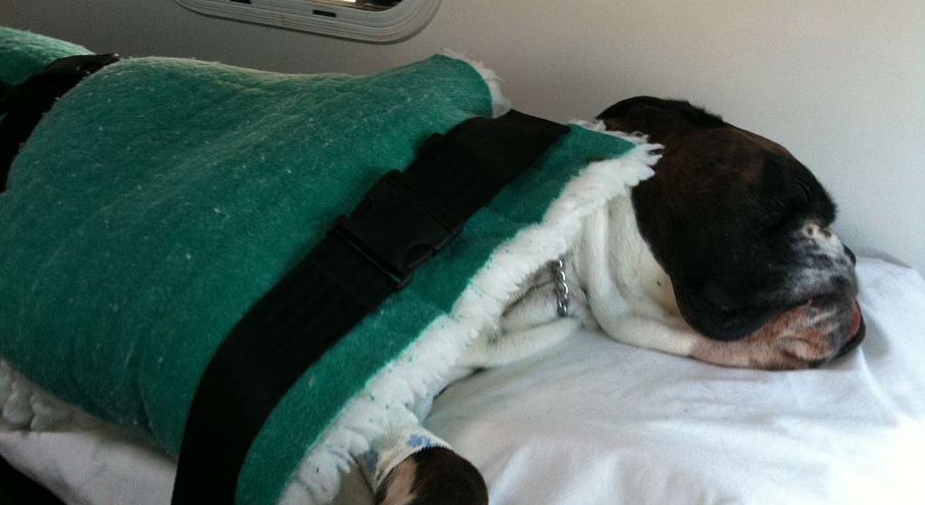 French Bulldog checkup at pet hospital
