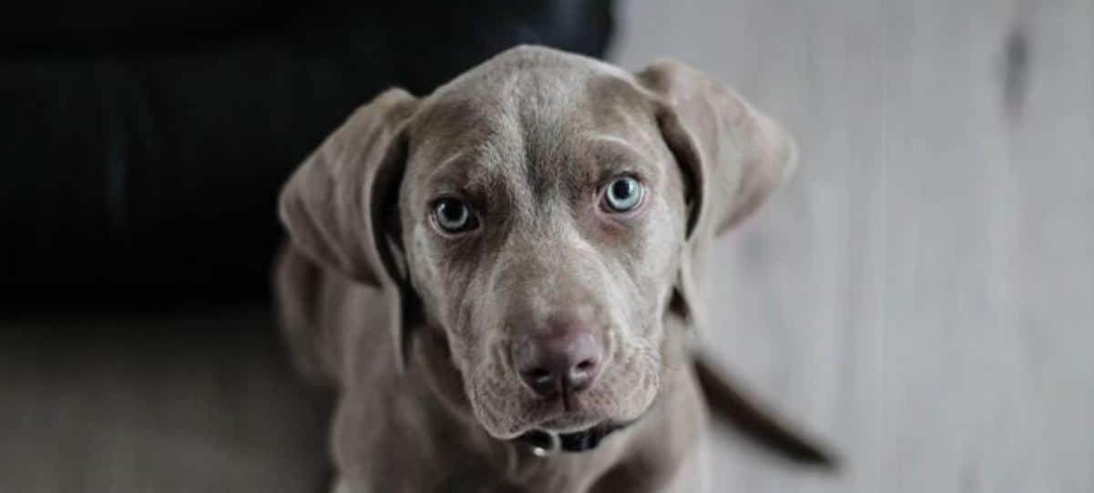 Weimaraner puppy looking up