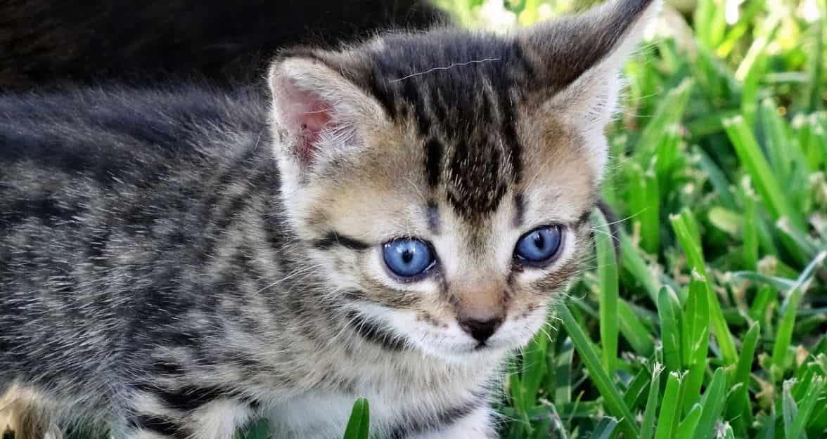 Blue eyed cat outdoor