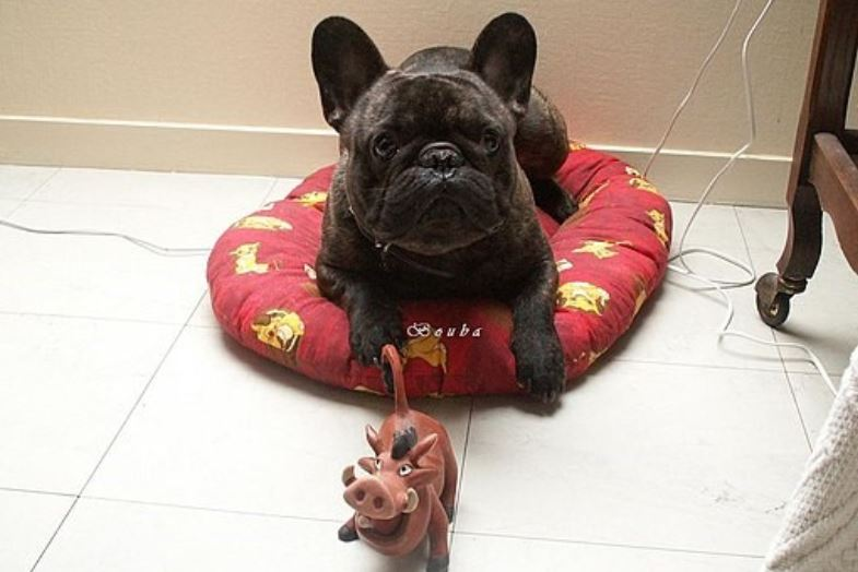 French Bulldog with a toy