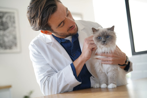 Male vet checking a cat