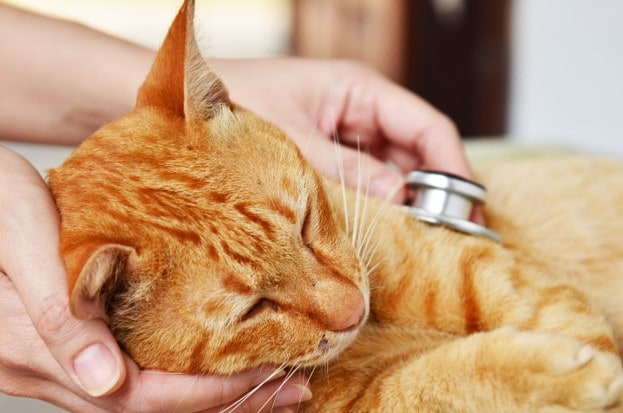 Cat having  a checkup at vet clinic
