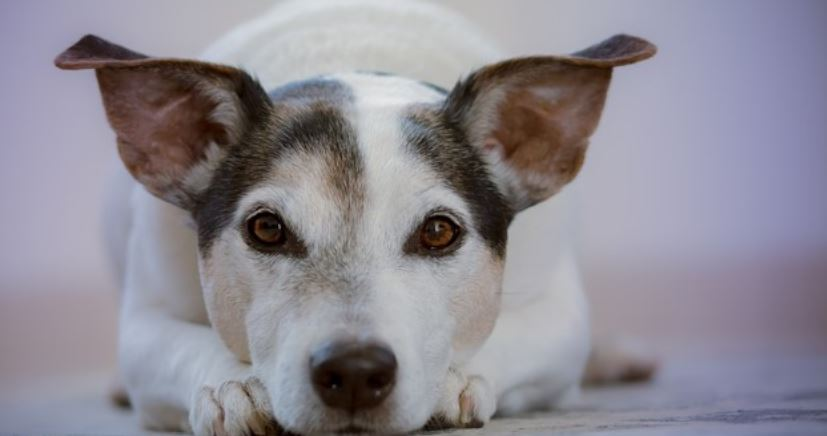 White dog with characteristic ears