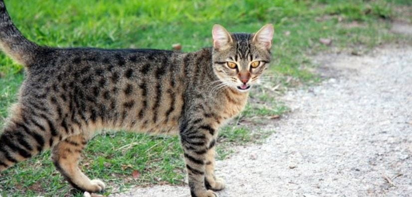 Domestic cat walks outdoor
