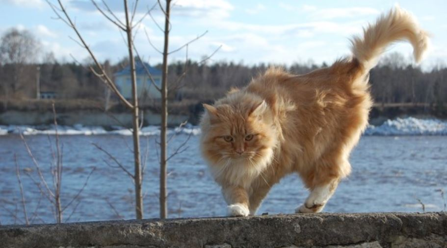 Redheaded cat on stone fence