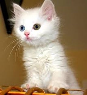 White kitty that has different ey colors stands on object