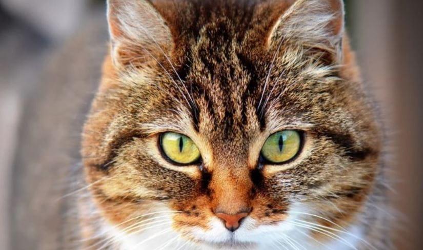 Closeup shot of yellow eyed cat