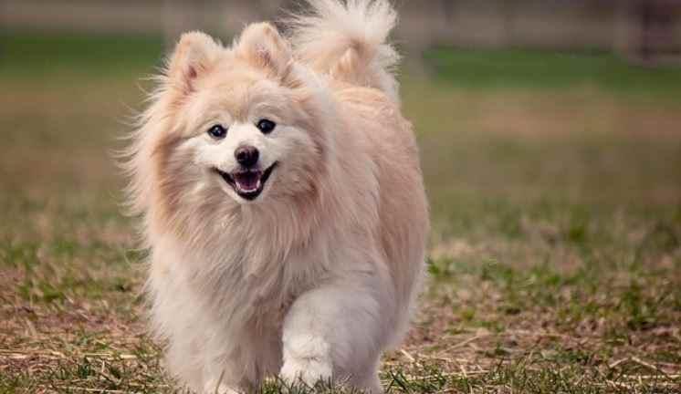 Pomeranian was the first weak positive to coronavirus test