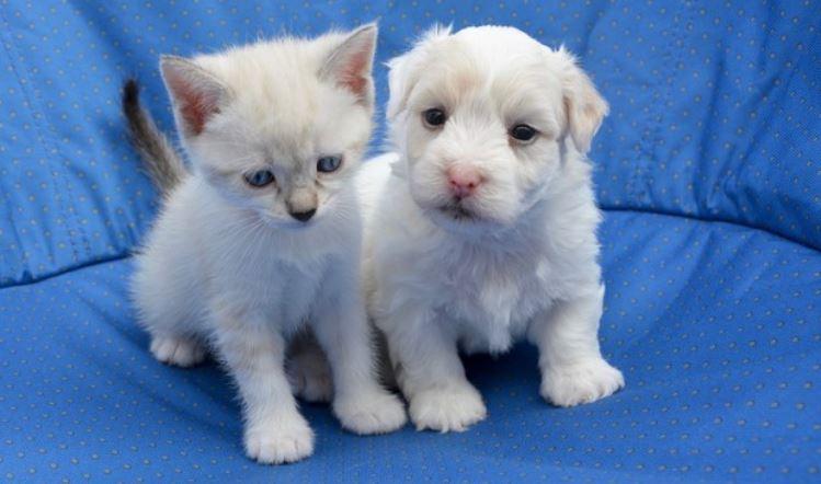 White puppy kitty in blue cushion