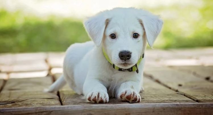 White puppy sits on wood material