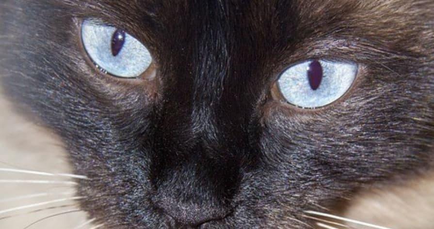 Blue Eyed Cat close up