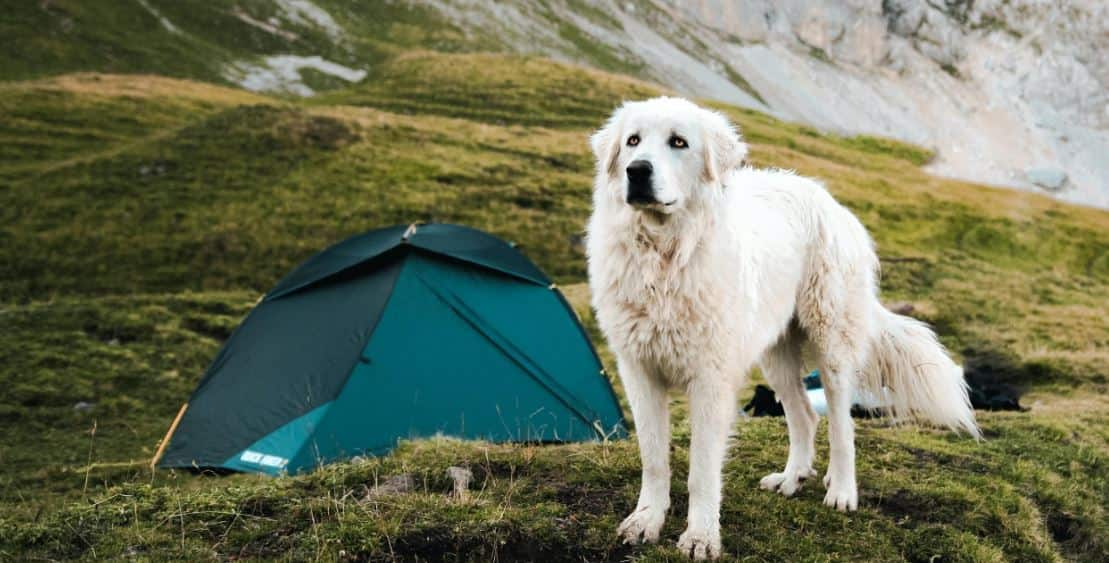 Having a camp with white dog