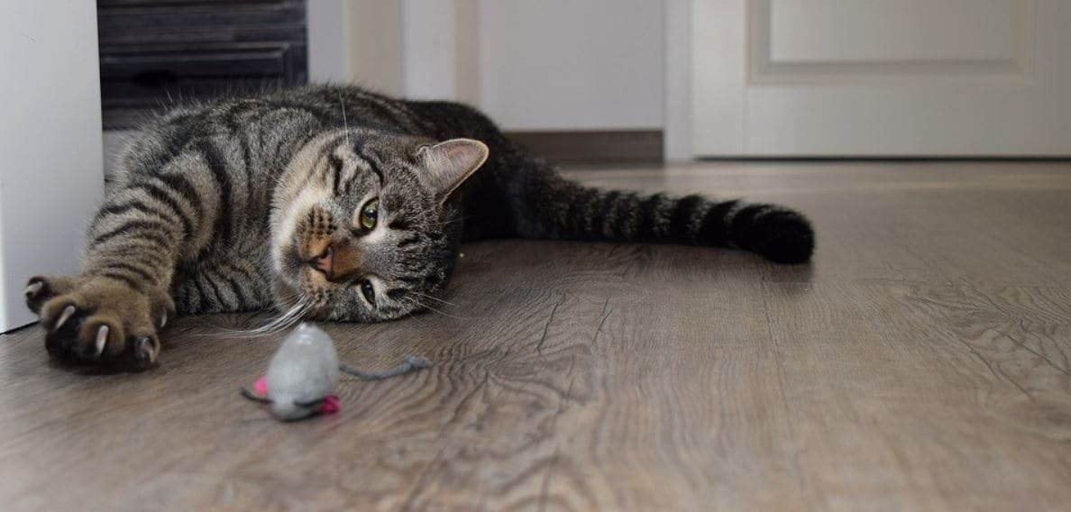 Cat stares at mouse toy