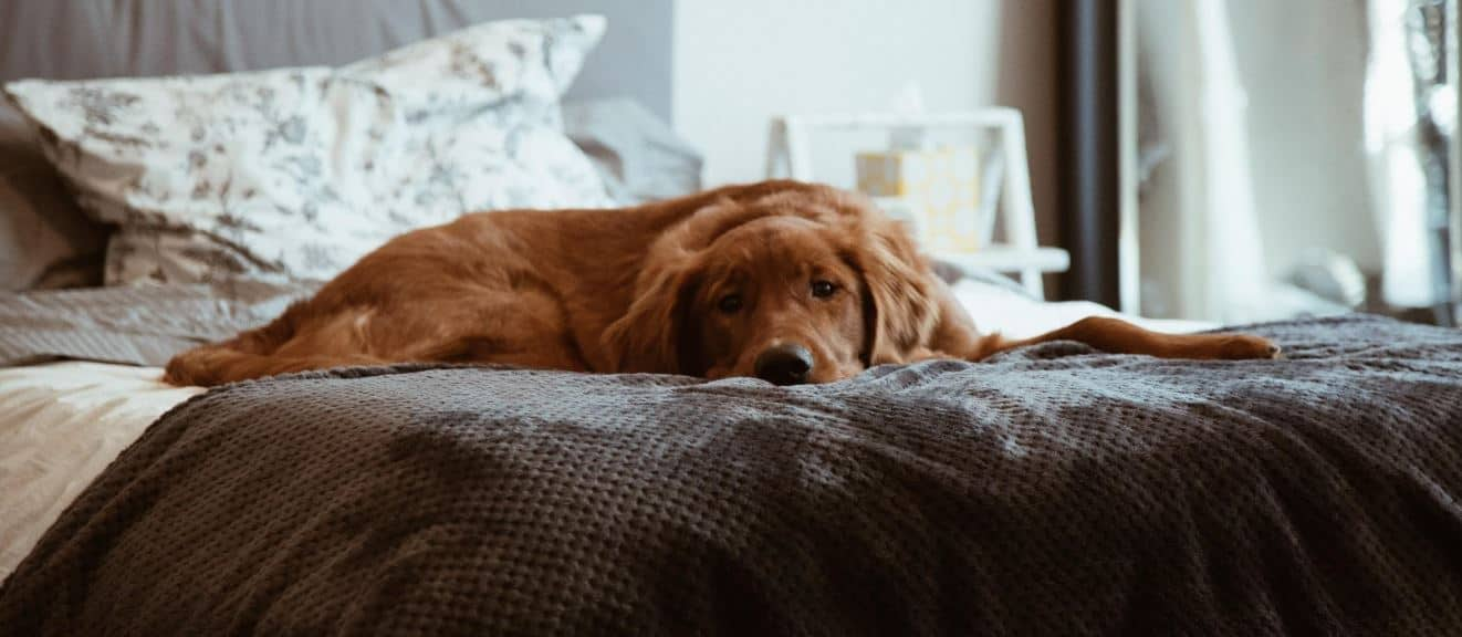 Sick dog lies on the bed