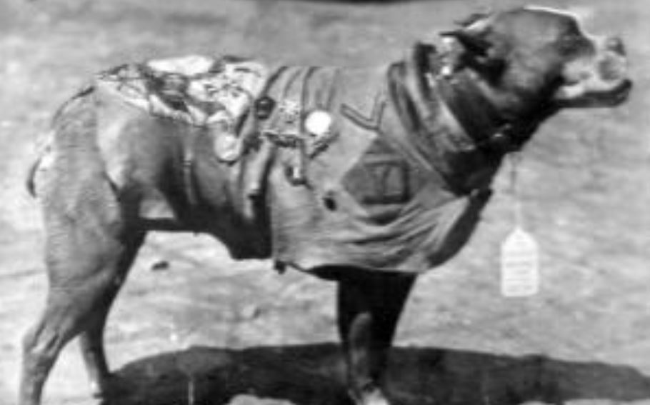 Sgt. Stubby worked in WWII