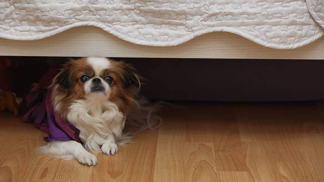 Small brown and white dog cowering under bed