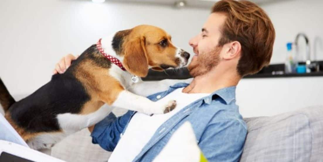 Man pets his Beagle on the couch