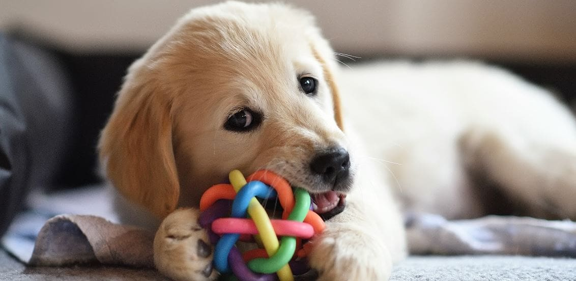 Labrador puppy teething with a dog toy