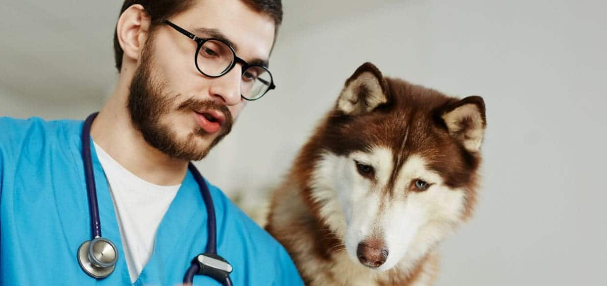 Husky and Vet check his condition together