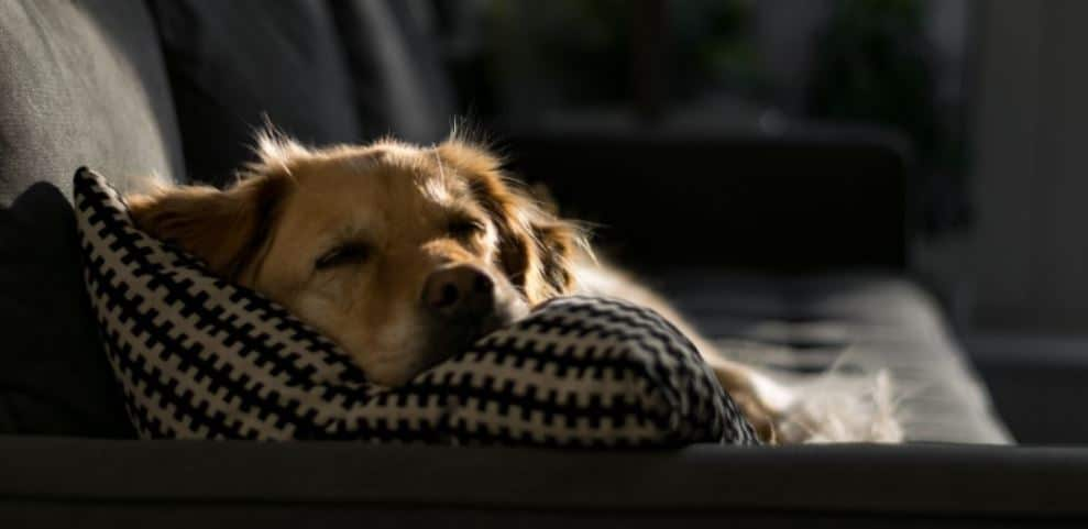 Sleepy dog lies on couch