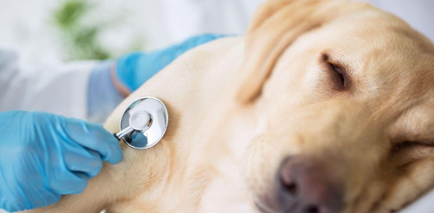 Yellow Labrador at vet clinic