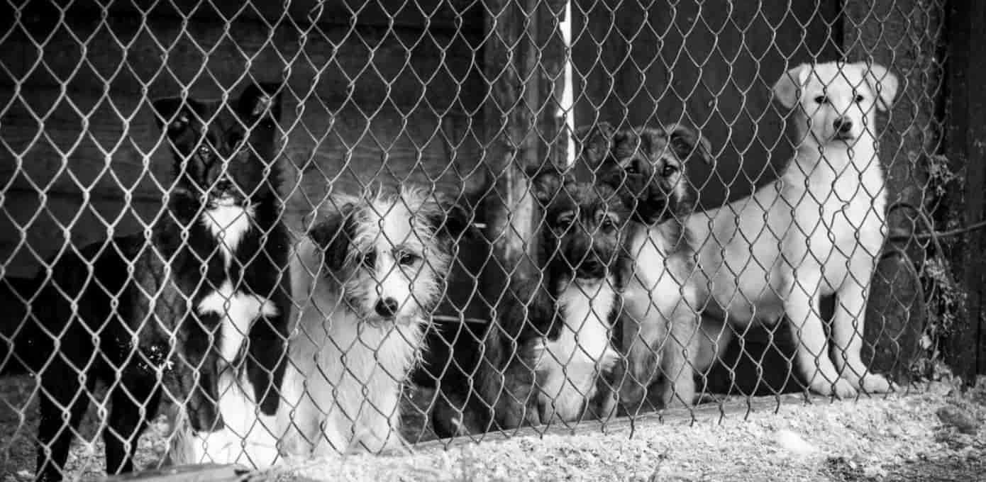 Dogs in cages outside together