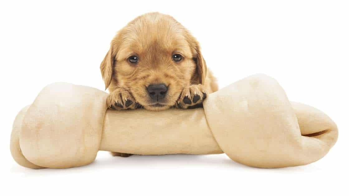 Small puppy with large rawhide bone