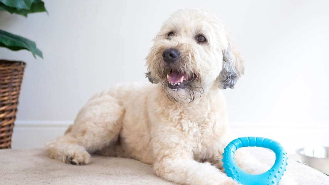 Light colored dog with bright blue chew toy