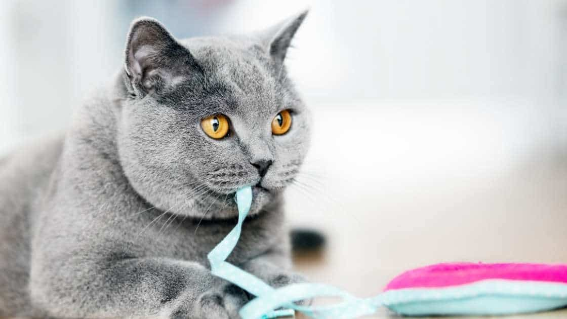 Grey cat chewing on blue string