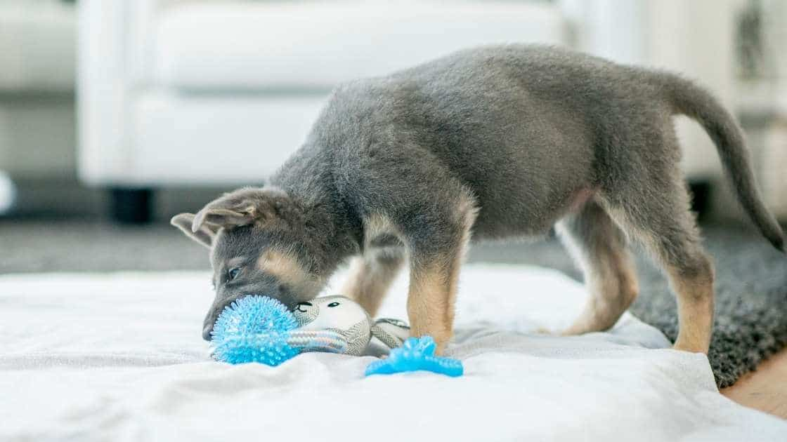 Small puppy teething on blue chew toy