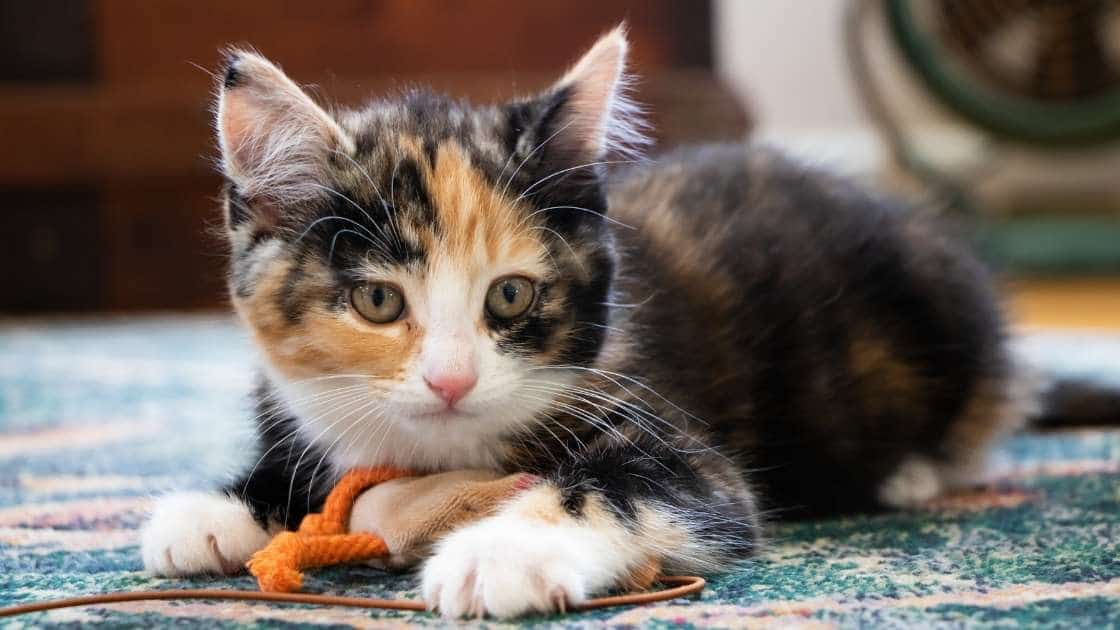 Calico kitten playing with small toy on ground