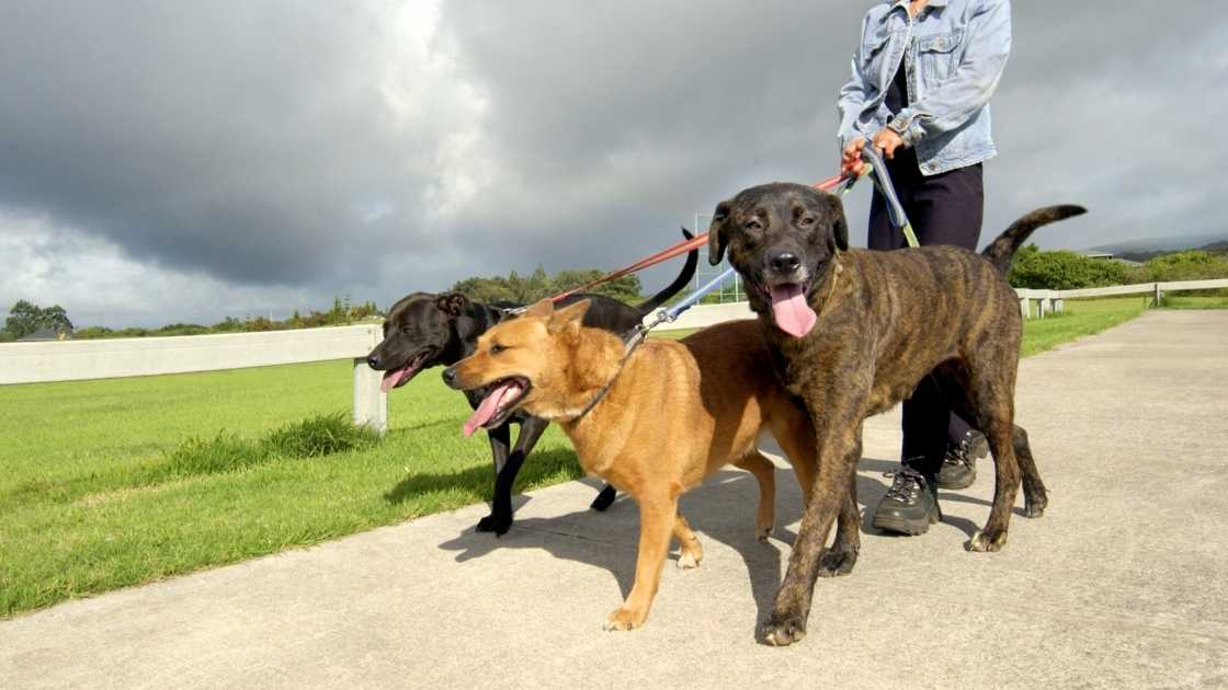 Three large dogs being walked outside by owner