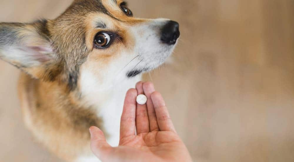 Corgi unwilling to take small white pill from owners hand