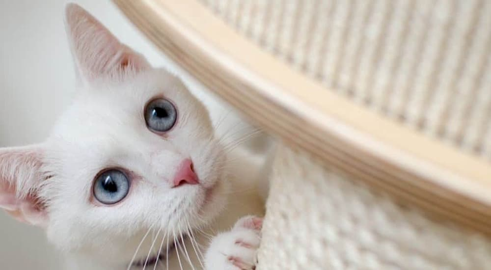 White cat scratches the scratching post