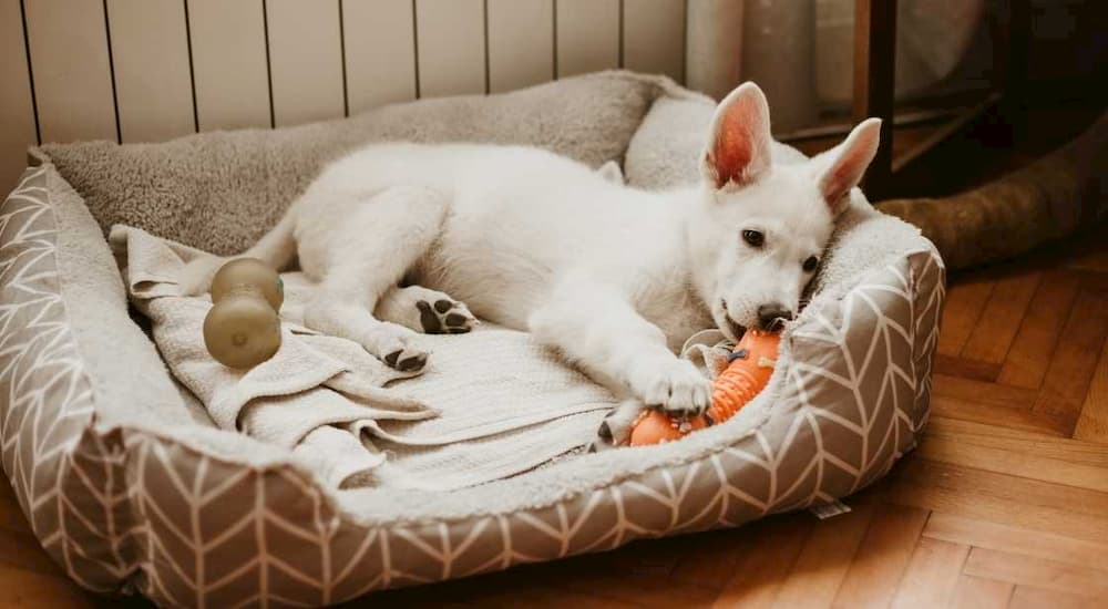 White puppy chewing on toy in bed